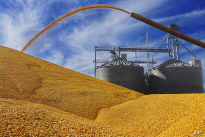 FILE - Central Illinois farmers deposit harvested corn on the ground outside a full grain elevator in Virginia, Ill., Sept. 23, 2015.