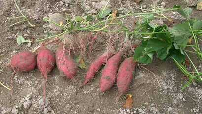 The Sweet Potato, native to S. America was around in Polynesia 1-thousand years ago. Credit: Miya