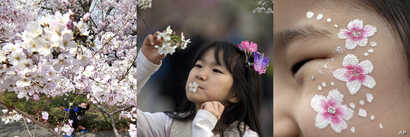 In this combination of photos showing children with cherry blossoms in Tokyo, Beijing, and Seoul, from left to right: A child walks under the blooming cherry blossom trees in Tokyo, March 30, 2017; a child with a cherry flower in her mouth looks at c...