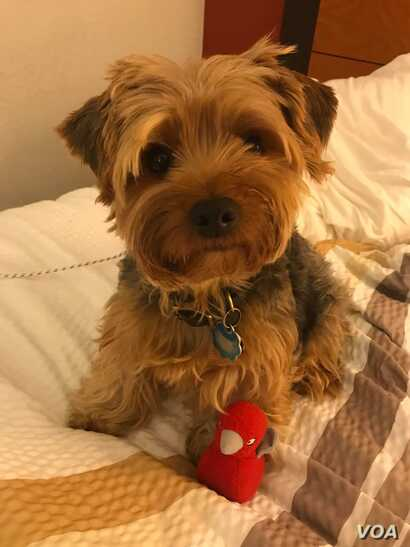 Nila Belfiore-Dulay turned towww.bringfido.comto find a place that would accept humans, plus Josie, herAiredale terrier, and Annie, her Yorkshire terrier, pictured above. (N. Belfiore-Dulay)