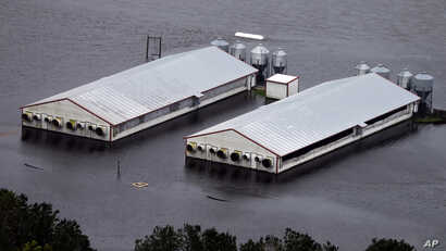 A hog farm is inundated with floodwaters from Hurricane Florence near Trenton, N.C., Sept. 16, 2018.