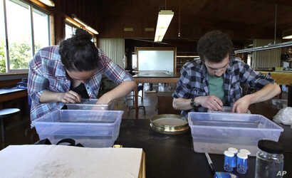 In this June 15, 2017, photo, research technician Kristen Mello, left, and graduate student Brandon O'Brien examine seaweed samples at a laboratory on Appledore Island, Maine.
