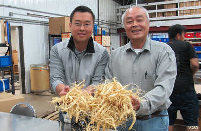 Will Hsu, left, and father Paul Hsu check out some ginseng at their processing center in north-central Wisconsin. (C. Guensburg/VOA)