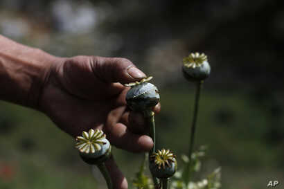 FILE - An opium grower shows how he milks a poppy flower bulb to obtain opium paste in the Sierra Madre del Sur mountains of Guerrero state, Mexico, Jan. 26, 2015.