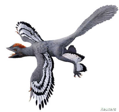 A life reconstruction of the bird-like feathered dinosaur Anchiornis, using the new body outline laser-stimulated fluorescence data is pictured in this undated handout image, Feb. 28, 2017. (Julius T. Csotonyi)