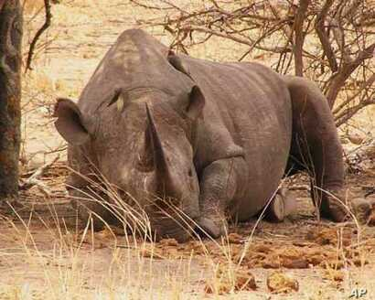 A rhino rests on a game reserve in South Africa. Some in the wildlife industry say a legal trade in rhino horn will decrease poaching levels; others argue it would have the opposite effect