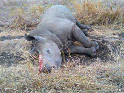 The carcass of a rhino killed for its horn in a game reserve in South Africa