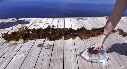 In this June 15, 2017 photo, a sample of a red shrub-like seaweed, bagged in sea water, collected in the waters off Appledore Island, Maine is displayed on a dock next to a blade of kelp. Kelp forests are critical to the fishing industry but are disa...