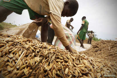 Men harvest rice in a rice field in Nanan, Yamoussoukro, Ivory Coast, Sept. 27, 2014.