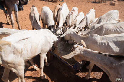Goats with ribs showing crowd around a a trough of well water in Somaliland region of Somalia, which is experiencing a devastating drought, on Feb. 9, 2017. (VOA/Jason Patinkin)