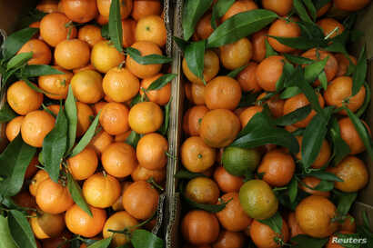 Clementines are displayed at the fruits and vegetables pavilion in Rungis International food market as buyers prepare for the Christmas holiday season in Rungis, south of Paris, Dec. 11, 2015.
