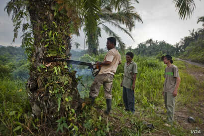 Rudi Putra supervises a forest restoration team cutting down a palm oil tree in the Leuser Ecosystem, Indonesia. (Goldman Environmental Prize)
