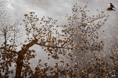 A bird sits in a puddle as a cherry blossom tree with buds and blossoms is reflected in the water, Monday, April 2, 2018, at the tidal basin in Washington.