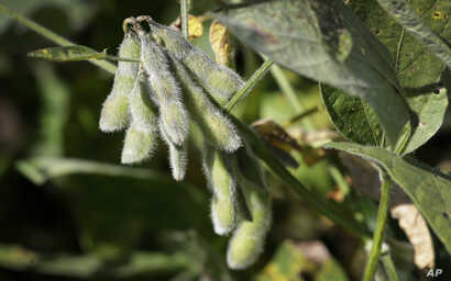 Soybeans are seen in a field on the Grant Kimberley farm, Friday, Sept. 2, 2016, near Maxwell, Iowa.
