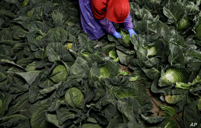 In this March 6, 2018 photo, farmworker Elias Solis, of Mexicali, Mexico, picks cabbage before dawn in a field outside of Calexico, Calif.