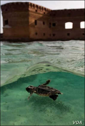 Sea turtle hatchling swimming in front of Fort Jefferson.