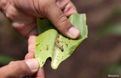 FILE - A crop-eating armyworm is seen on a sorghum plant at a farm in Settlers, northern province of Limpopo, Feb.  8,2017.