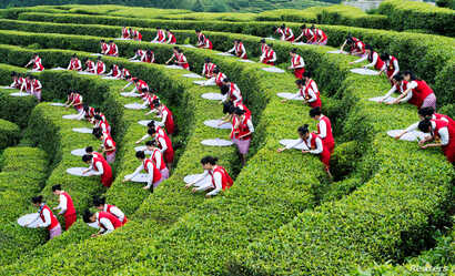 FILE - Students pick up tea leaves during an event to promote local ecotourism at a plantation in Chongqing, April 30, 2016.