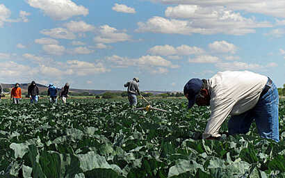 In this June 1, 2011 photo, indigenous Mexican farm workers cut weeds in a cabbage field near King City, Calif. Many of the farm workers live in nearby Greenfield, where their large presence has caused tensions among the more established residents, m...