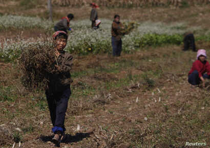 FILE - North Korean farmers work at a collective farm in an area damaged by floods and typhoons, in South Hwanghae province, Sept. 29, 2011.