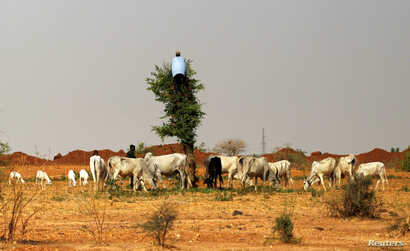 FILE - A herdsman climbs a tree to cut vegetation for his animals during a shortage of grass in Zamfara, Nigeria, April 21, 2016.