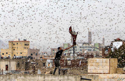 A man tries to catch locusts on a rooftop as they swarm over the Huthi rebel-held Yemeni capital Sana'a.