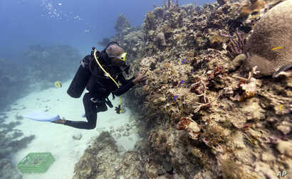 Diver Everton Simpson plants staghorn coral harvested from a coral nursery inside the White River Fish Sanctuary in Ocho Rios, Jamaica, Feb. 12, 2019.