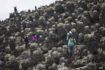 In this Feb. 19, 2019 photo, scientists hike during a mission to study how temperatures and plant life are changing in the ecosystem known as the paramos.