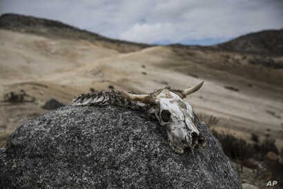 In this Feb. 19, 2019 photo, the bones of an animal lie on a rock during a scientific mission in the  Andean mountains.
