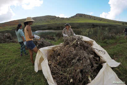 FILE - Islanders work on weeding and cleaning a wetland at Easter Island, Chile, Feb. 1, 2019.