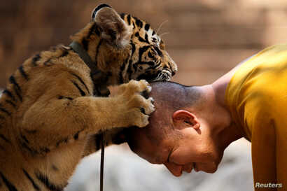 FILE - A Buddhist monk plays with a tiger at the Wat Pa Luang Ta Bua, otherwise known as Tiger Temple, in Kanchanaburi province, Feb. 12, 2015.