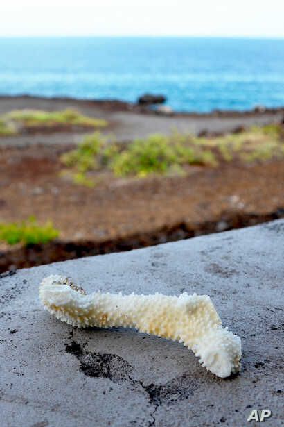 A chunk of bleached, dead coral is seen on a wall near a bay on the west coast of the Big Island near Captain Cook, Hawaii, Sept. 13, 2019.