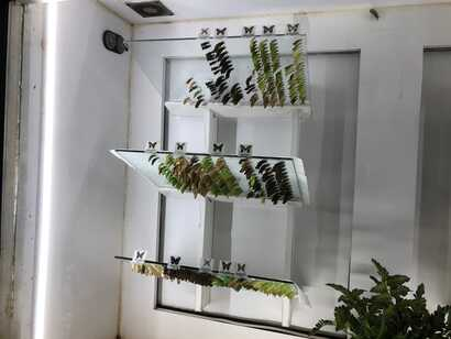 Glass boards where butterflies emerge from their chrysalides, or moths emerge from their cocoons.