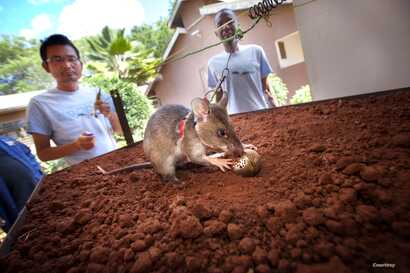 African giant pouched rats are trained in a click and rewards system to sniff out a tea egg infuser filled with TNT to eventuall