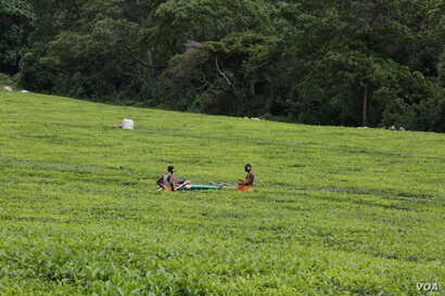 Workers pick tea in one of the farms in Kericho, Rift Valley. The tea farms of Kericho town has employed tens of thousands of Kenyans.