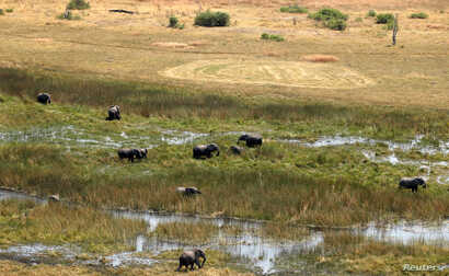 A herd of elephants is seen grazing at a wild life area, after reports that conservationists have discovered 87 of them…