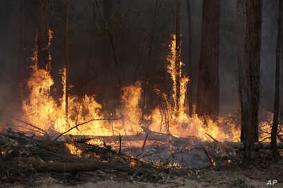 Flames from a controlled fire burn up tree trunks as firefighters work at building a containment line at a wildfire near…