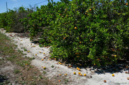 Ripe and rotten oranges due to the lack of workers for harvesting are seen at a farm in Lake Wales, Florida, U.S., April 1,…