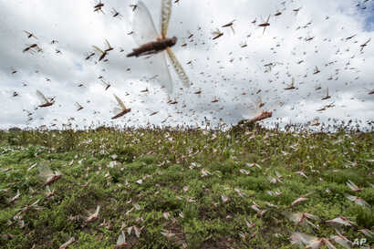 Swarms of desert locusts fly up into the air from crops in Katitika village, Kitui county, Kenya Friday, Jan. 24, 2020. Desert…