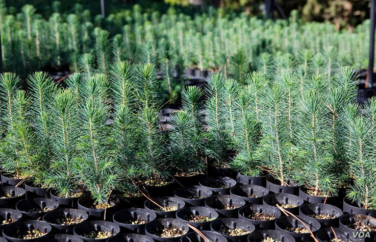 Cedar seedlings grow at a USAID-funded nursery maintained by Lebanon's Association for Forests, Development and Conservation.  (V. Undritz for VOA)