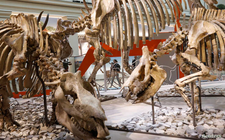 A journalist passes an exhibit during a media preview for the reopening of the Smithsonian's Natural History Museum dinosaur and fossil hall after undergoing $110-million renovation in Washington, June 4, 2019.