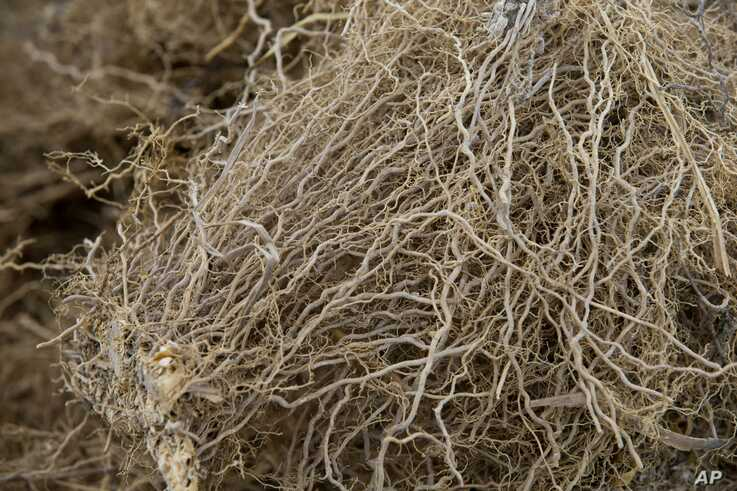Vetiver roots, used to produce an essential oil used in fine perfumes, at the Frager's factory in Les Cayes, Haiti.