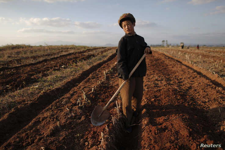 FILE - A North Korean boy works in a field of a collective farm in an area damaged by summer floods and typhoons in South Hwanghae province Sept. 30, 2011. I