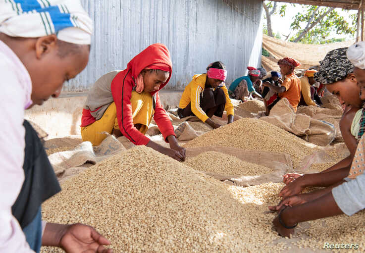 Women pick unwanted coffee beans from the final product just before packaging in Holiso cooperative of Shebedino district in Sidama,