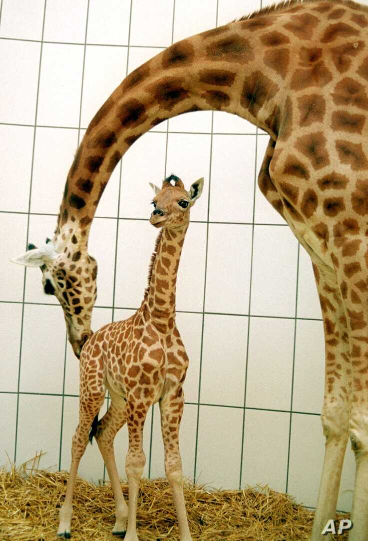 Barbie, a 10-day-old Nubian Giraffe, left, gets a playful nudge from her mother, Maji, at the Egyptian Temple in the Antwerp Zoo, April 11, 2000.