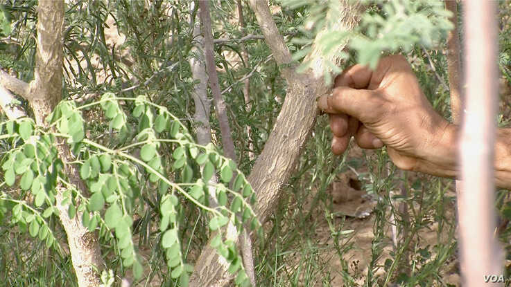 A farmer in Bir Salah checks bark of an acacia tree, which produces coveted gum arabic. (Lisa Bryant/VOA)