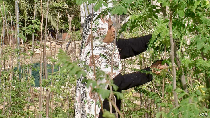A women farmer prunes moringa trees, which are sought after for their nutritional and medicinal properties. (Lisa Bryant/VOA)