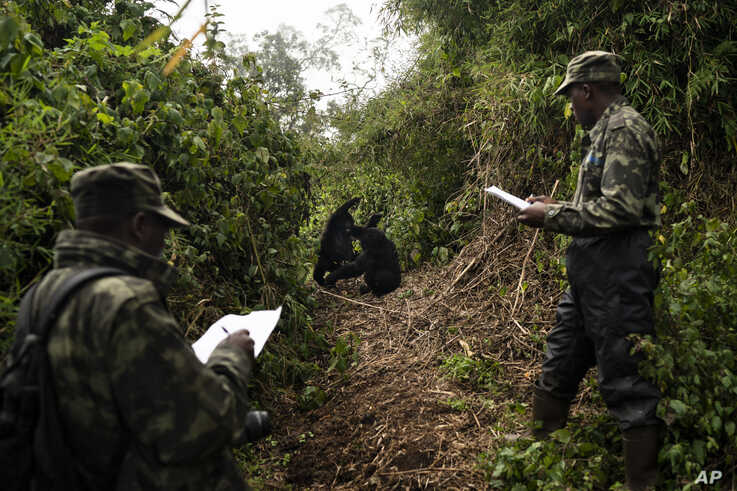 In this Sept. 4, 2019 photo, gorilla trackers Emmanuel Bizagwira, right, and Safari Gabriel observe two gorillas from the…