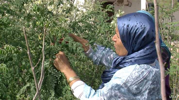 Samira Sghaier is seen pruning her moringa trees. (Lisa Bryant/VOA)