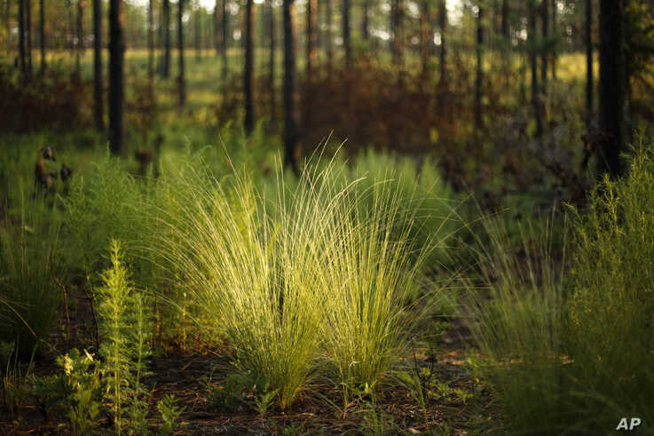 New growth flourishes on the floor of a long leaf pine forest, just three months after a prescribed burn at Fort Bragg in…